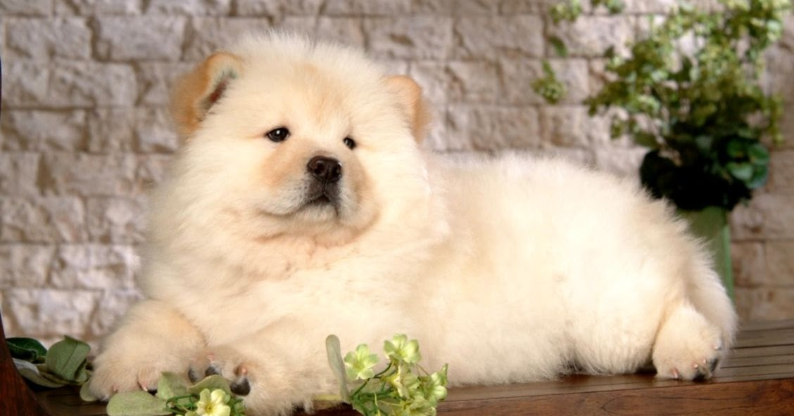 Chow Chow Puppies Black Wallpapers Hd Wallpapers Emoji 1128x592