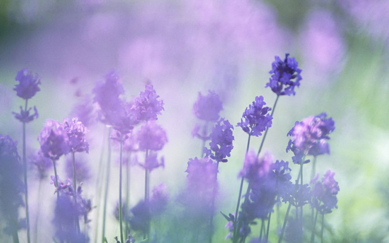 Beautiful Lavender Purple Flower Macro Wallpaper For Android Wallpaper 1280x800