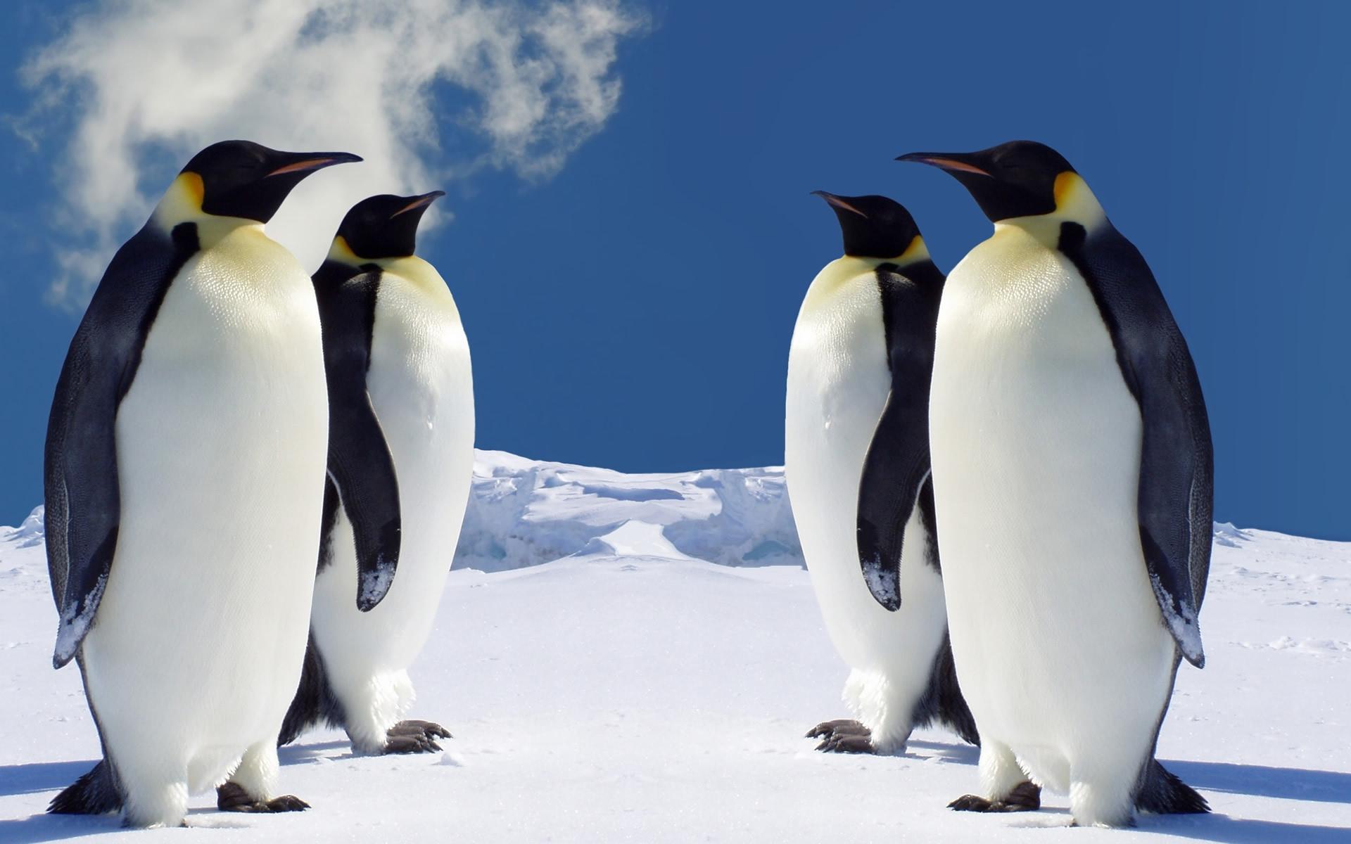 4 King Penguins Wallpaper   Penguins Wallpaper 36797304 1920x1200