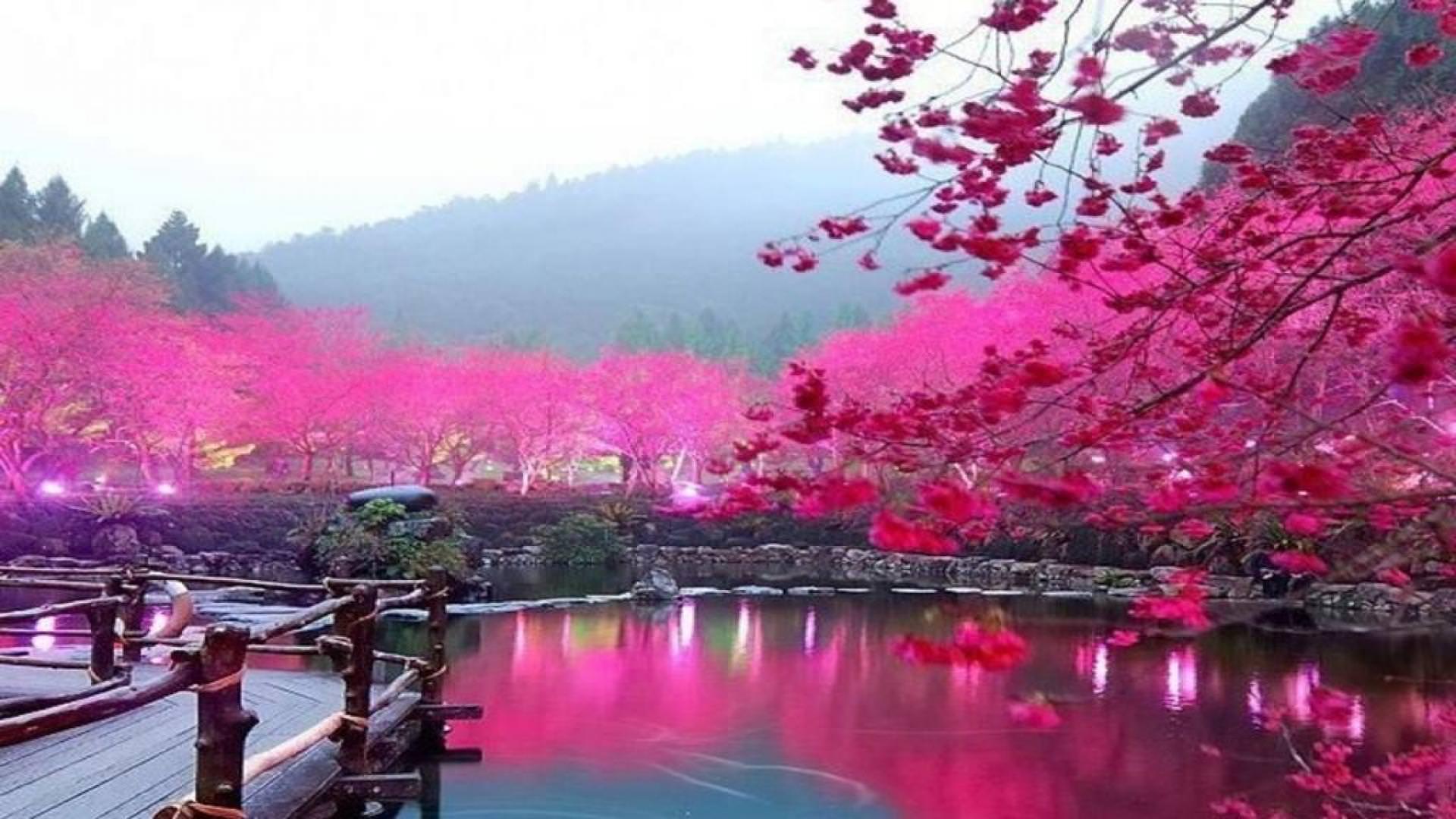 Pics Photos   Cherry Blossom Hd Wallpaper 1920x1080