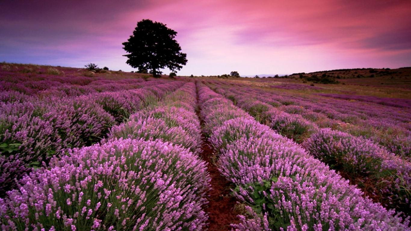 Beautiful Lavender Field Wallpaper HD Wallpaper 1366x768