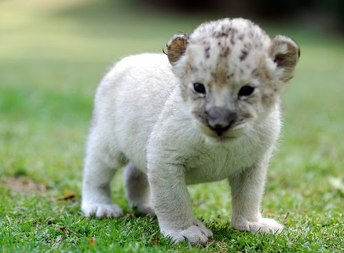 Desktop Background Wallpapers Cute White Lion Cubs Wallpapers 500x368