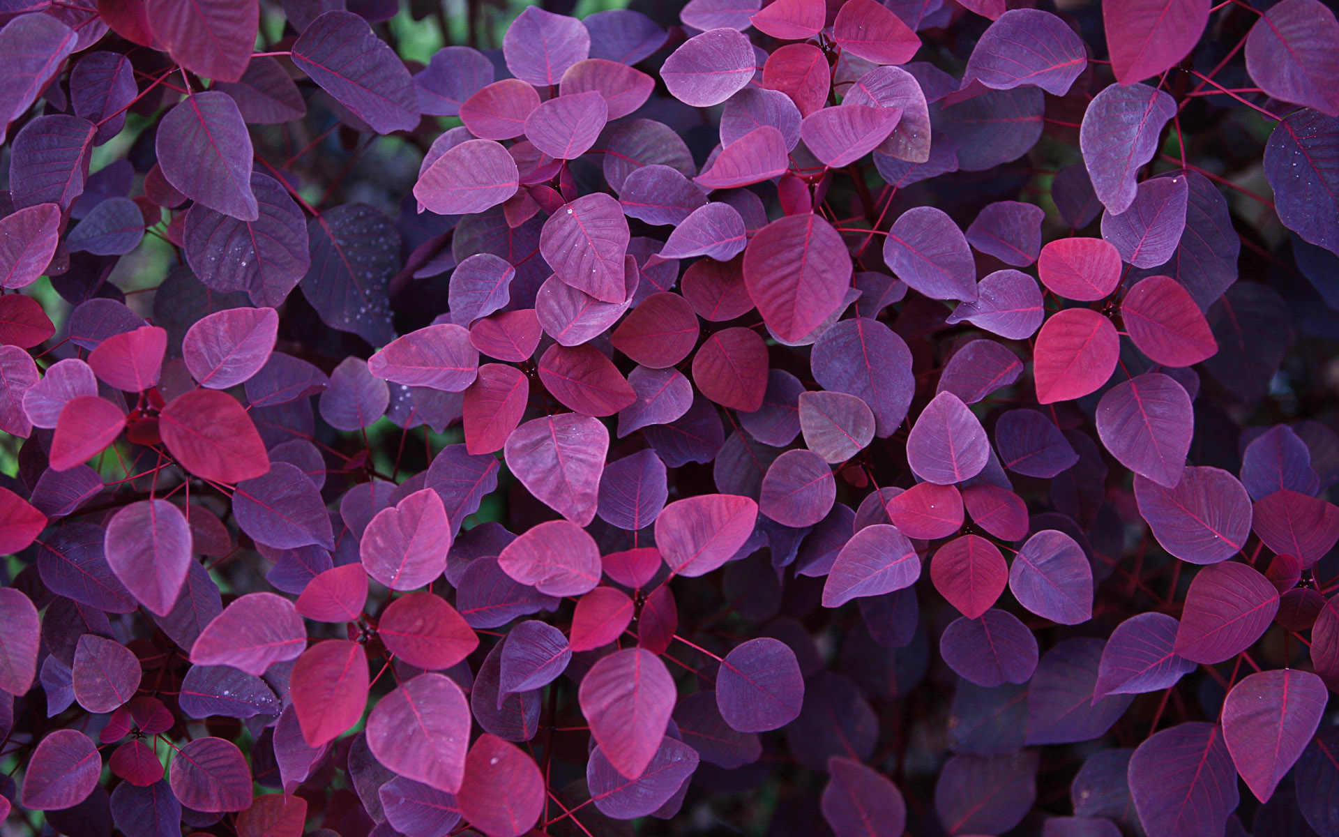 Wallpaper leaves autumn purple wallpapers nature   download 1920x1200