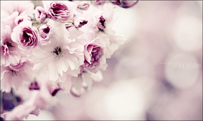 Pink Cherry Blossom HD Wallpaper Pics   HD Wallpaper   image   Photo 700x417