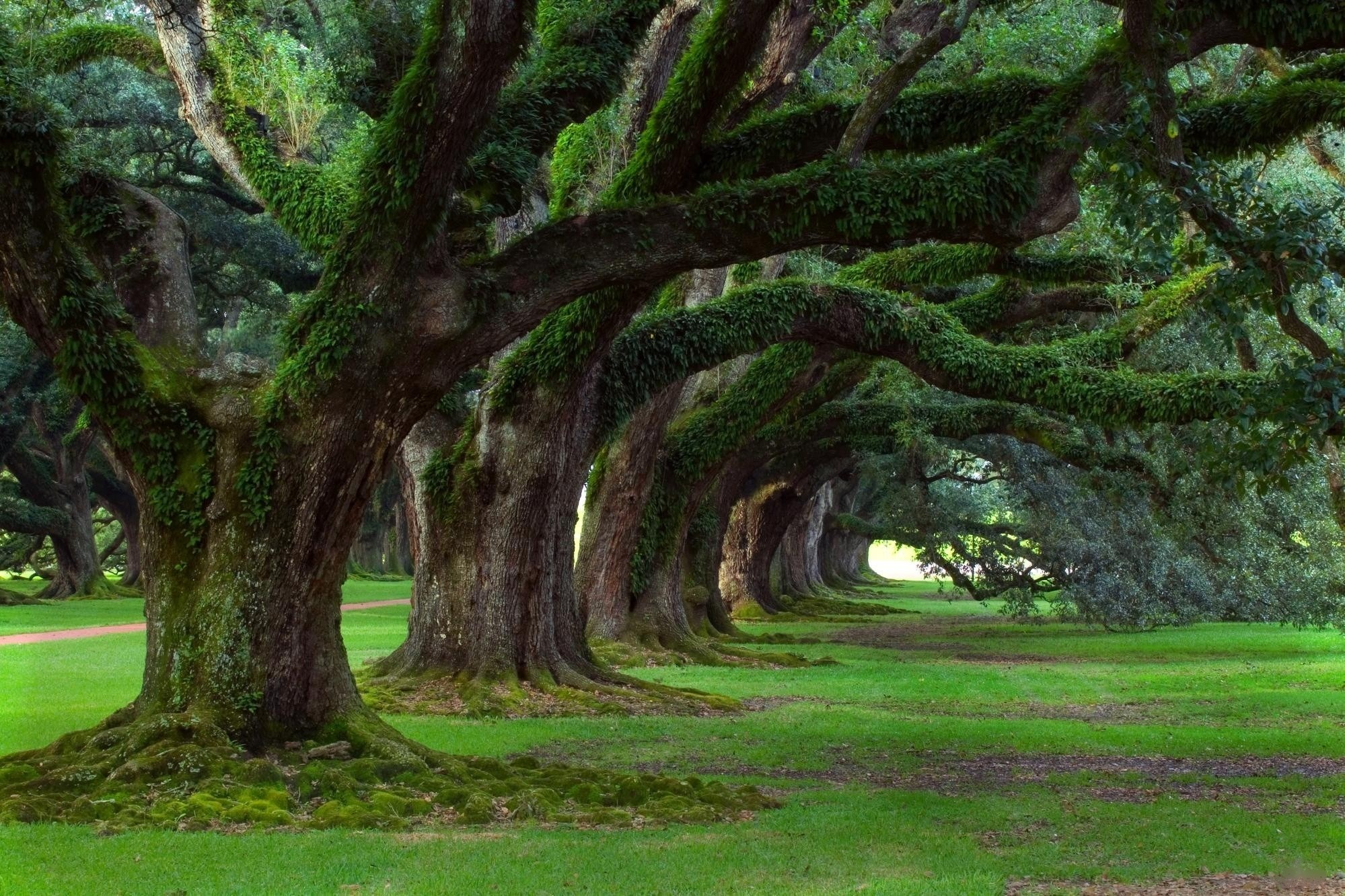 Oak Tree Moss HD Wallpaper Background Images 1999x1333