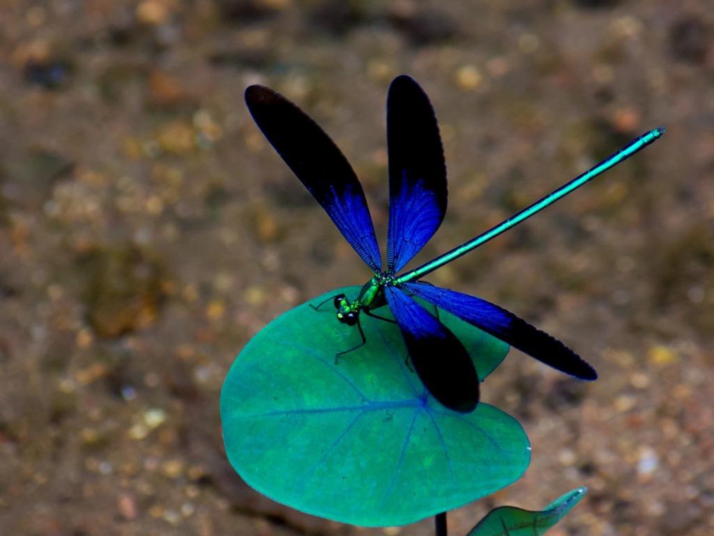 Blue Dragonflywallpapers screensavers 1024x768