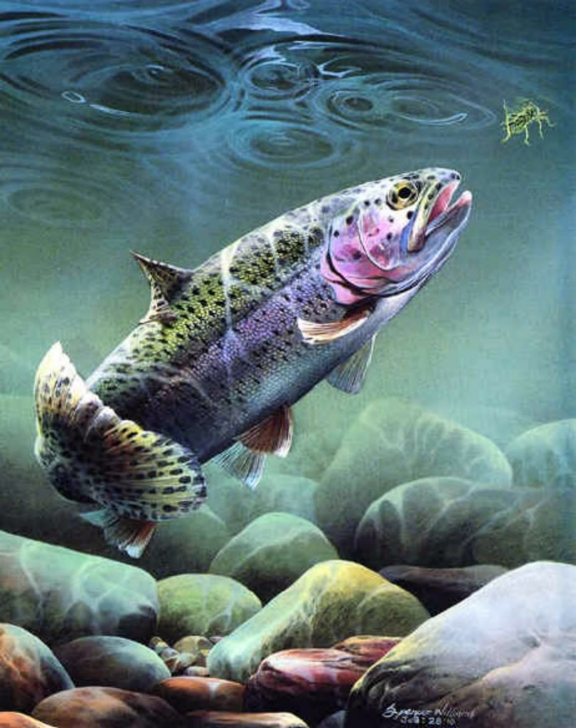 fly fishing screensavers and wallpaper wallpapersafari Trout Fish Clip Art brooke trout clip art