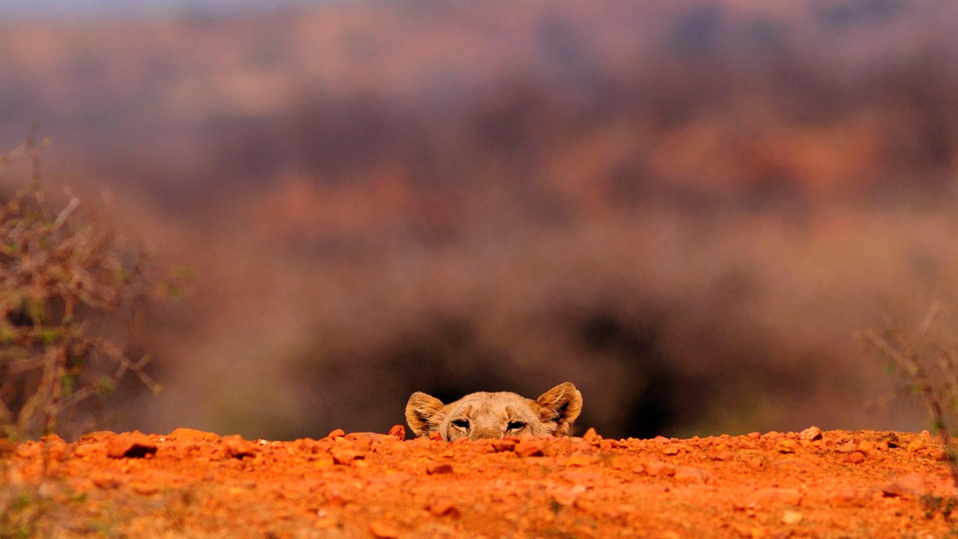 Lioness Panthera leo hiding Jacis Tree Lodge Madikwe Game 1920x1080