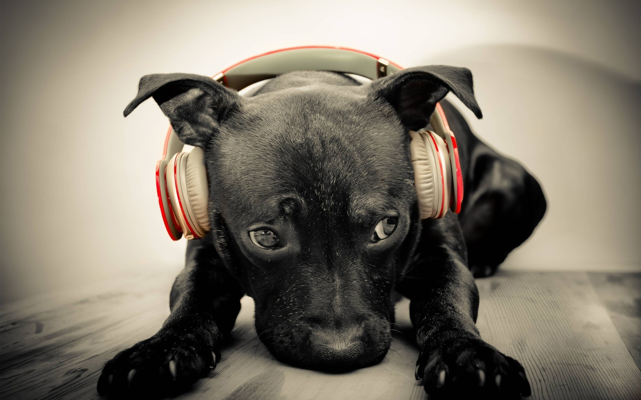 black dog headphones music wide high quality wallpaper photos for 2560x1600