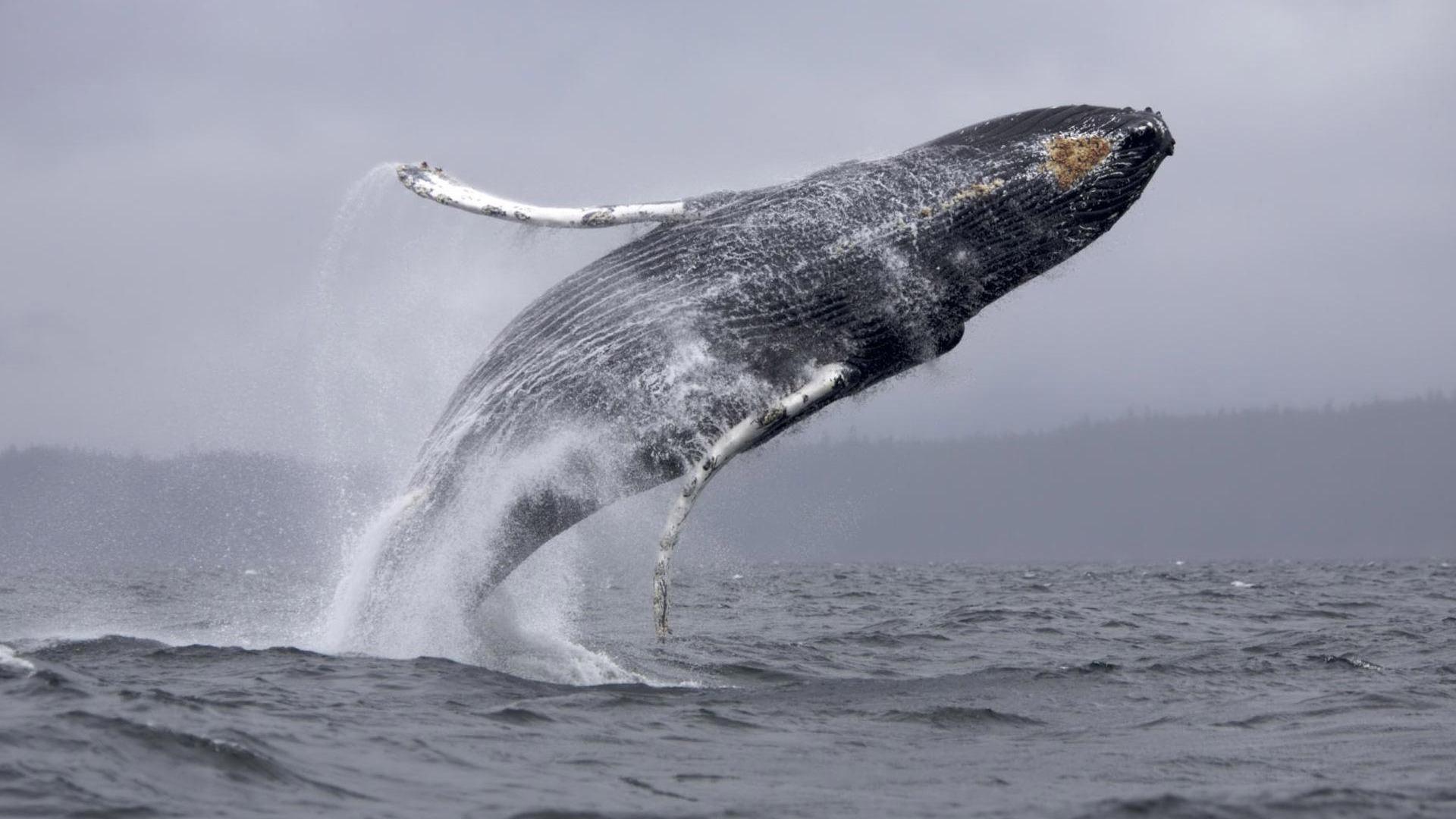 Humpback whale wallpaper 1920x1080