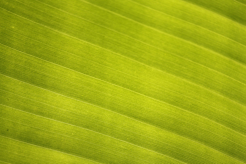 Banana leaf abstract texture and pattern Flickr   Photo Sharing 500x334