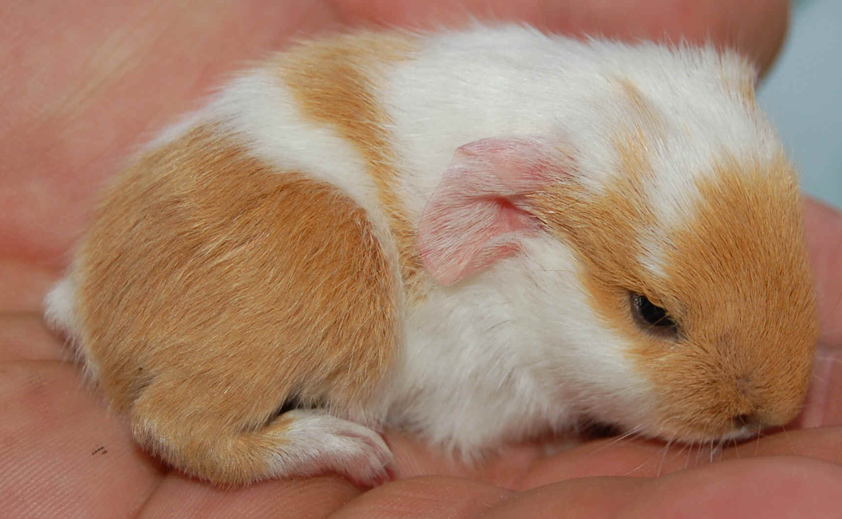 Guinea pig pregnancy and babies cute pictures Interesting Pictures 1703x1051