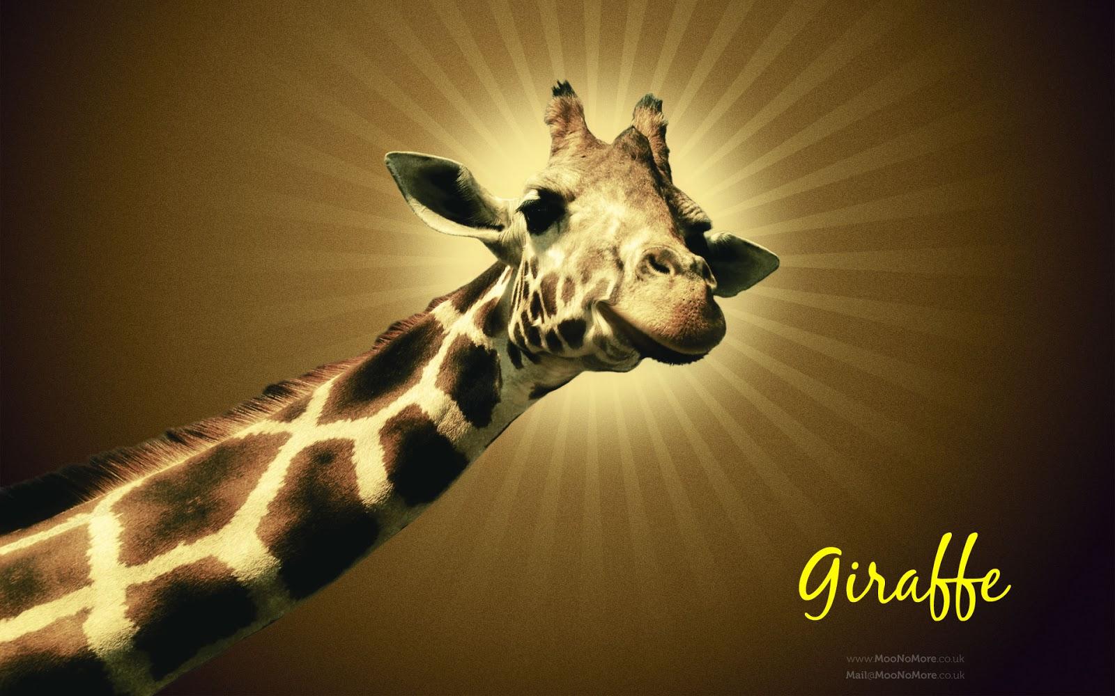 47+ HD Giraffe Wallpaper on WallpaperSafari