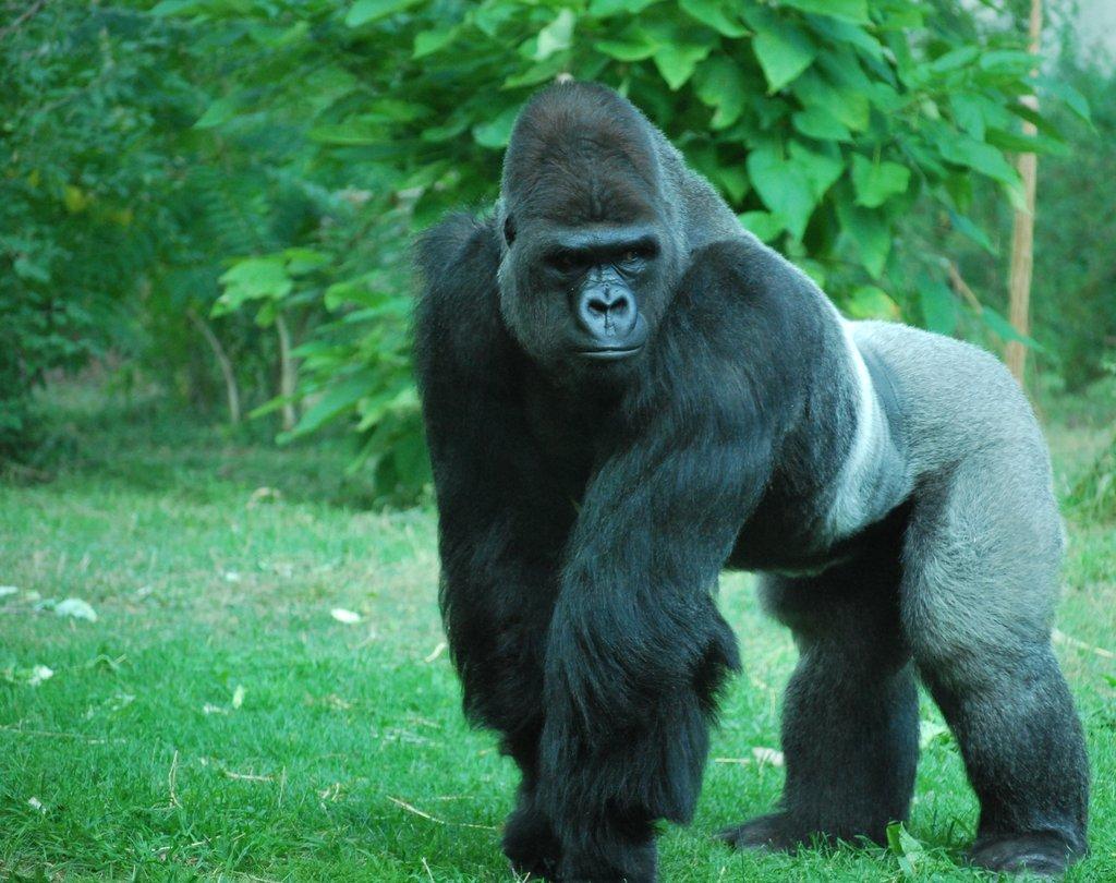 silverback gorilla 2 by tl3319 1024x810