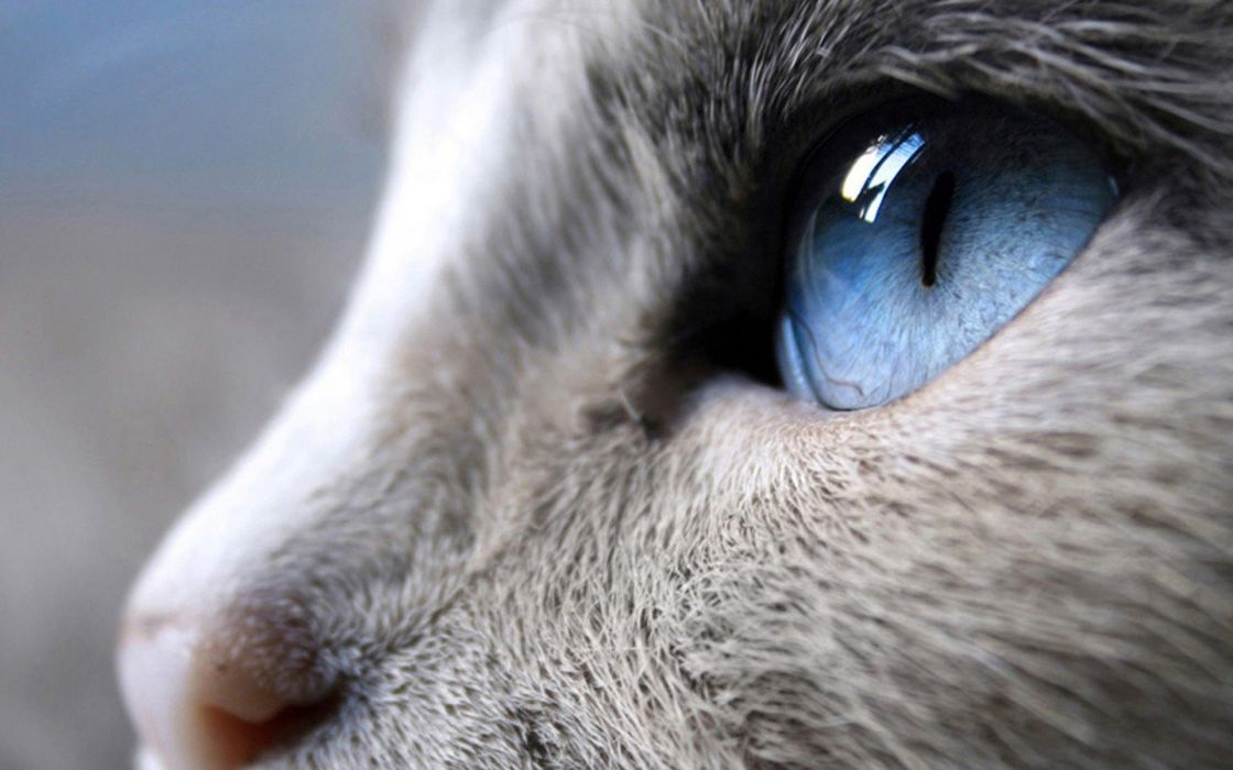 Close up cats blue eyes animals wallpaper 1920x1200 288838 1120x700