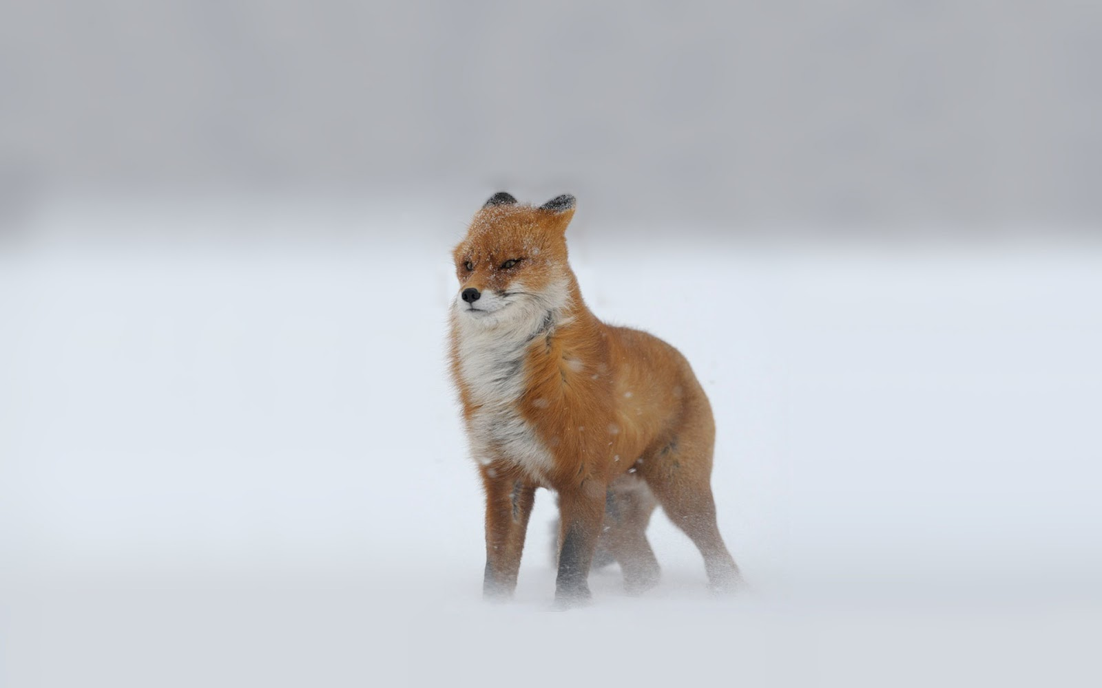 HD anmimal wallpaper of a red fox in a snowstorm HD foxes wallpapers 1600x1000