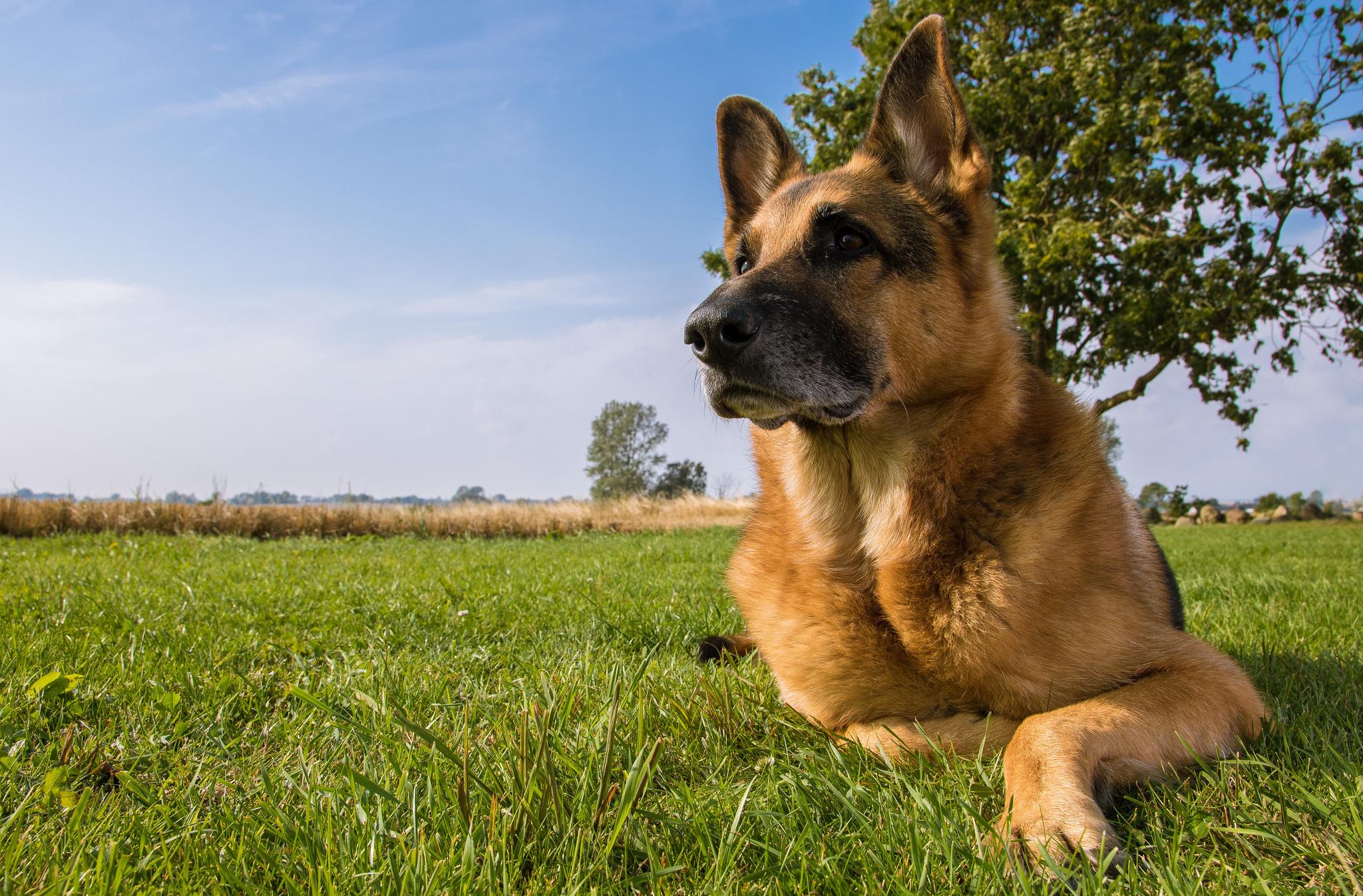 german shepherd shepherd dog dog meadow wallpapers dog   download 2048x1347