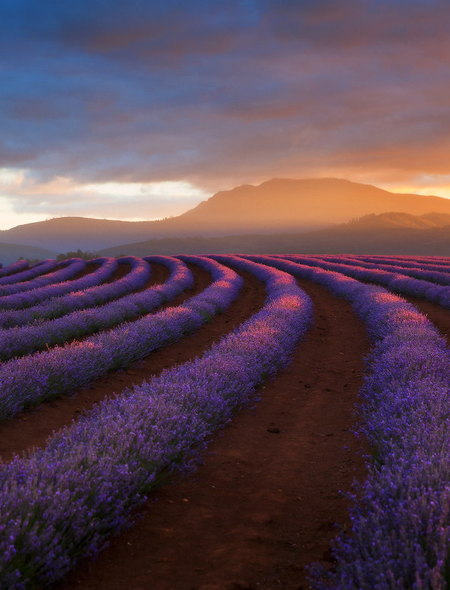 Bridestowe Lavender Tasmania Wallpaper for Amazon Kindle Fire 450x590