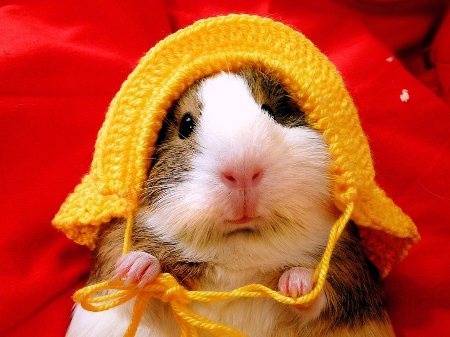 15 hamster wallpaper download 15 hamster hd widescreen wallpaper 1476x1107
