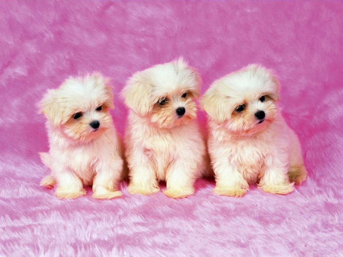 Cute Puppies Pictures Wallpaper of Dog Breeds 1152x864