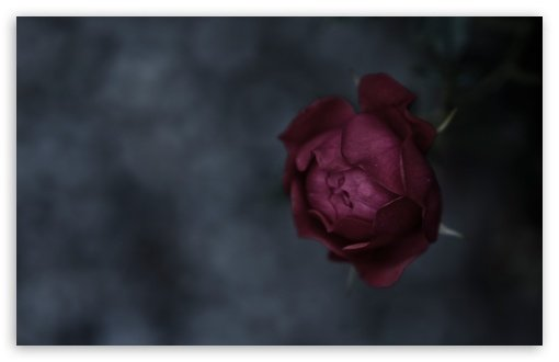 Burgundy Roses Wallpaper for Pinterest 510x330