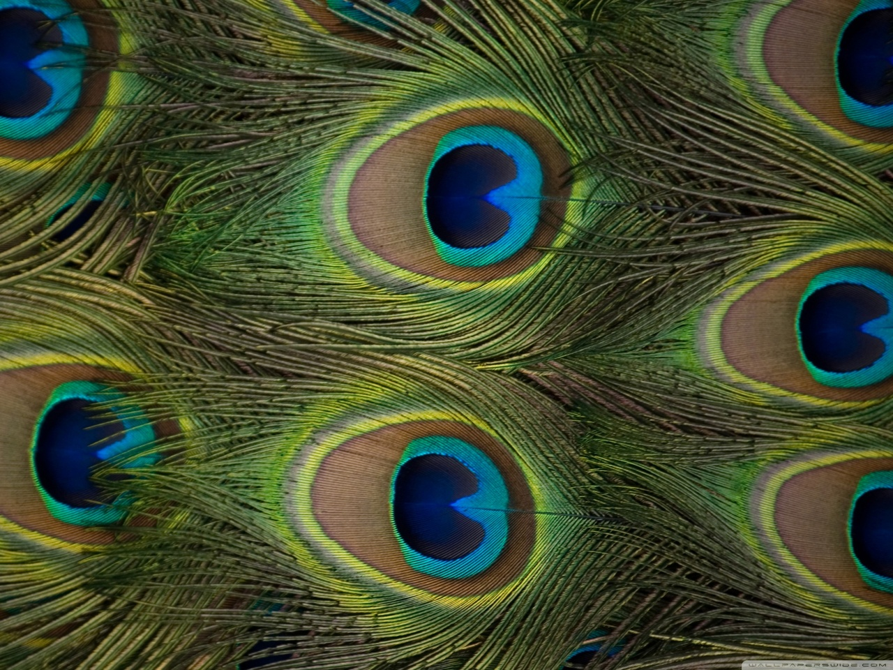 Peacock Feather Wallpaper 1280x960