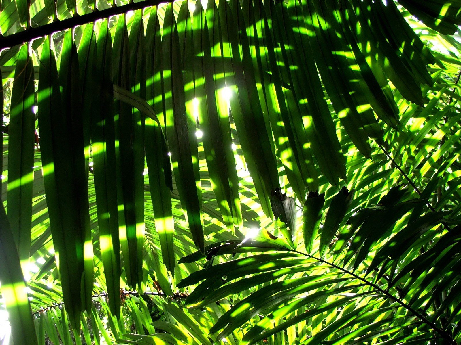 Nature Leaves Sunlight Palm Wallpaper Background 1600x1200