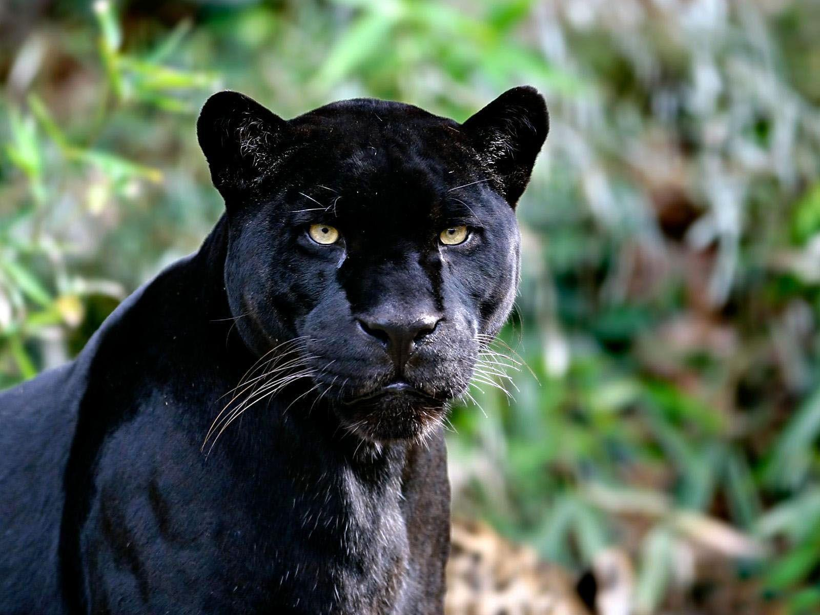 Black Jaguar Wallpapers 1600x1200