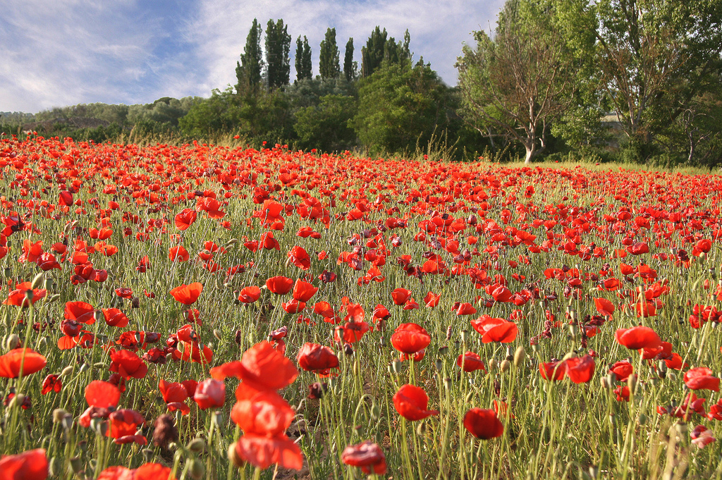 field of poppies wallpaper   ForWallpapercom 1024x681