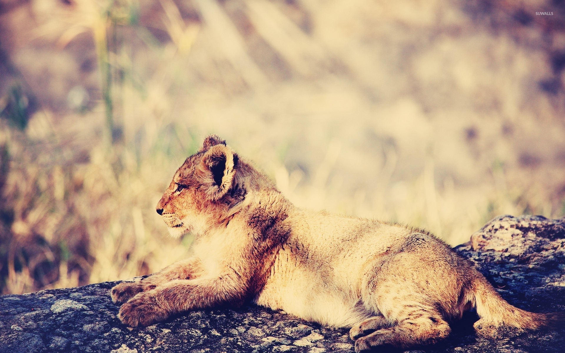 Lion cub wallpaper   Animal wallpapers   20771 1366x768