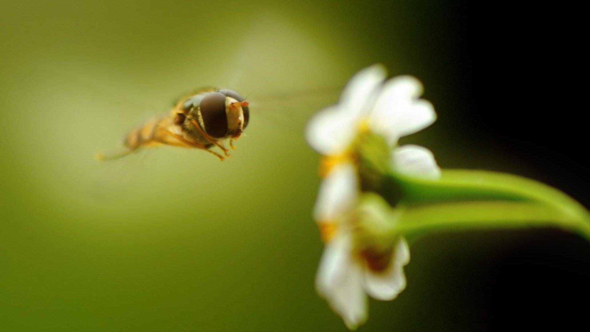 Honey bee wallpaper 1920x1080