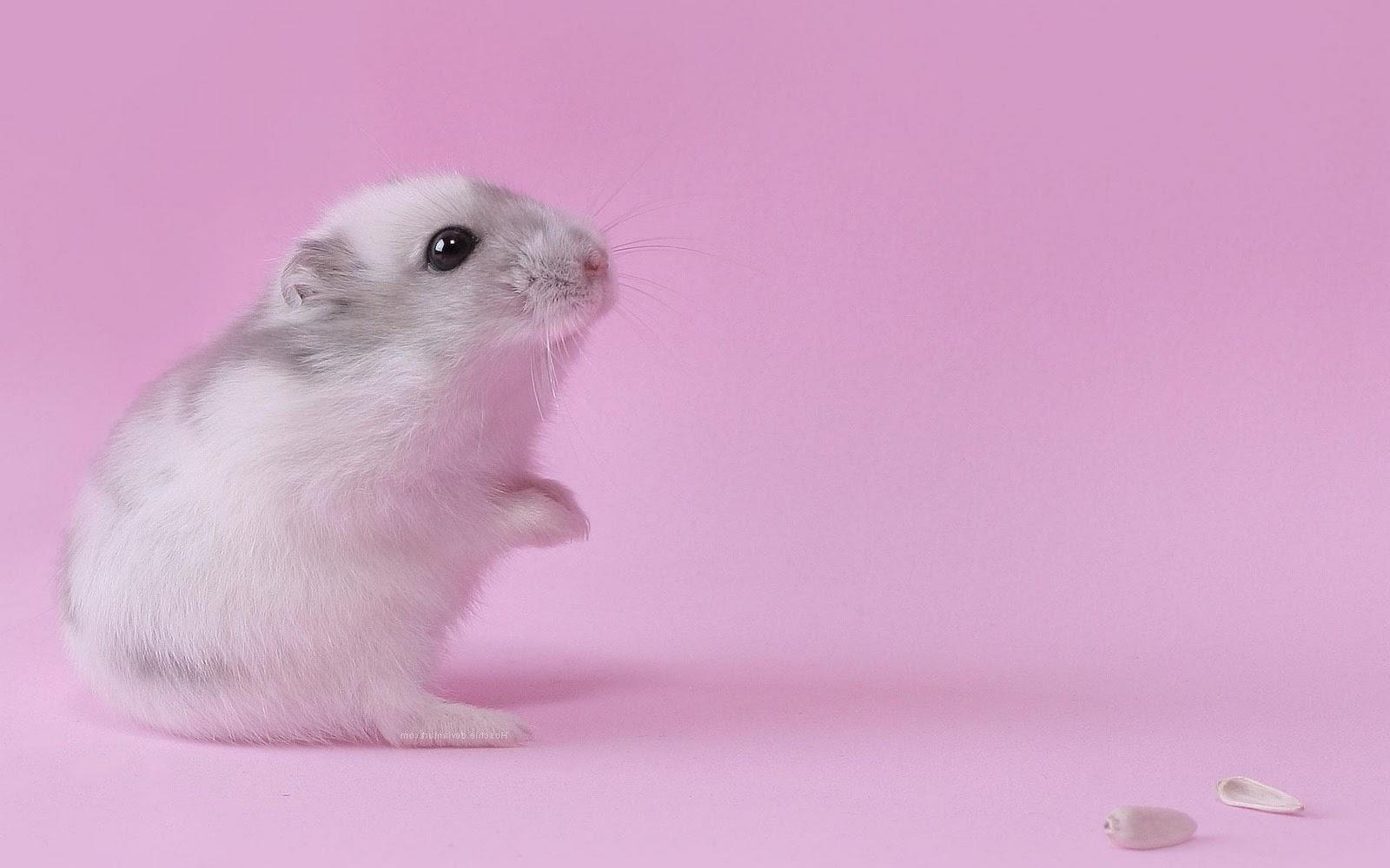 Hamsters achtergronden dieren hd hamster wallpapers foto 1jpg 1600x1000