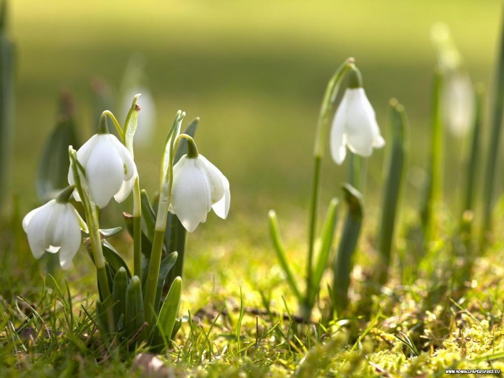 Snowdrops Spring Flowers Wallpaper in 1024x768 Resolution 1024x768
