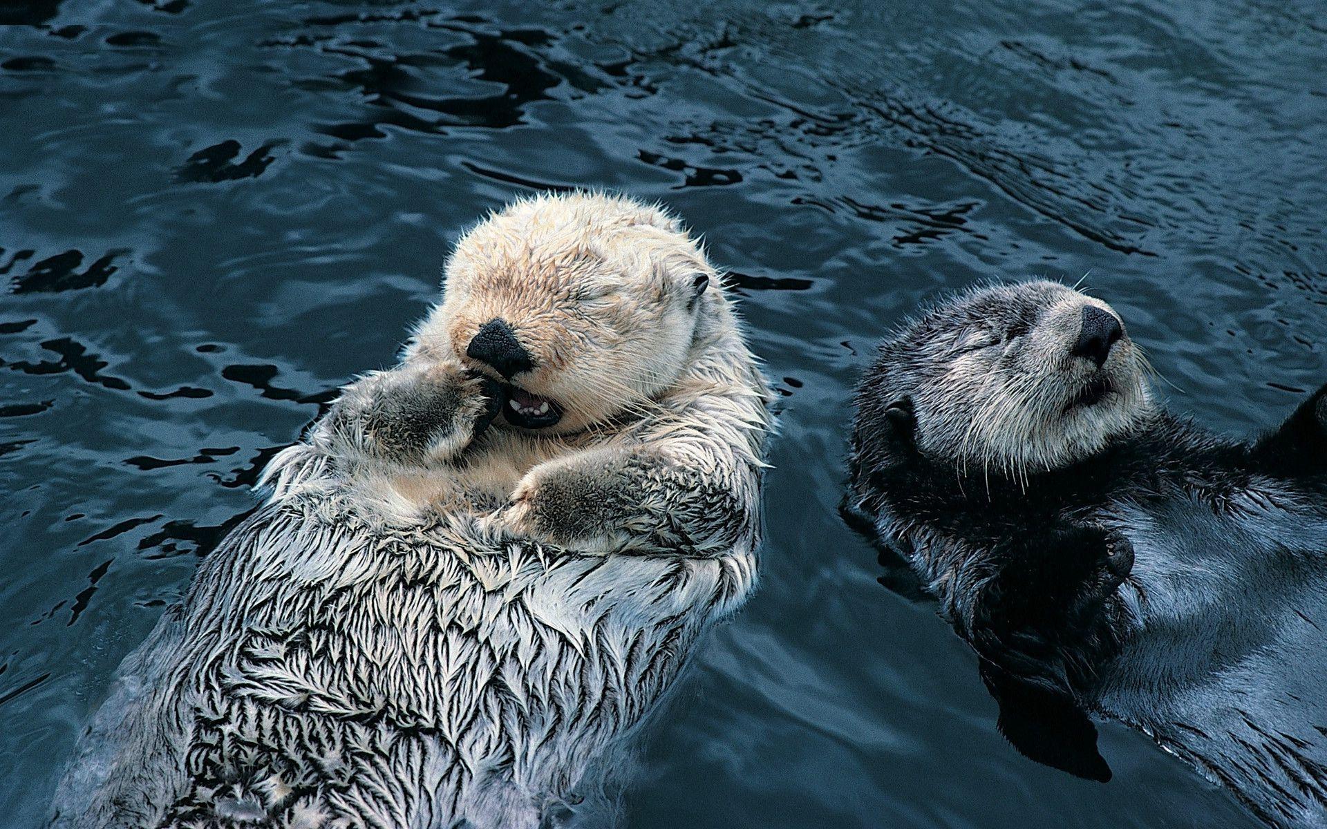 Sea Otter Wallpaper 1920x1200