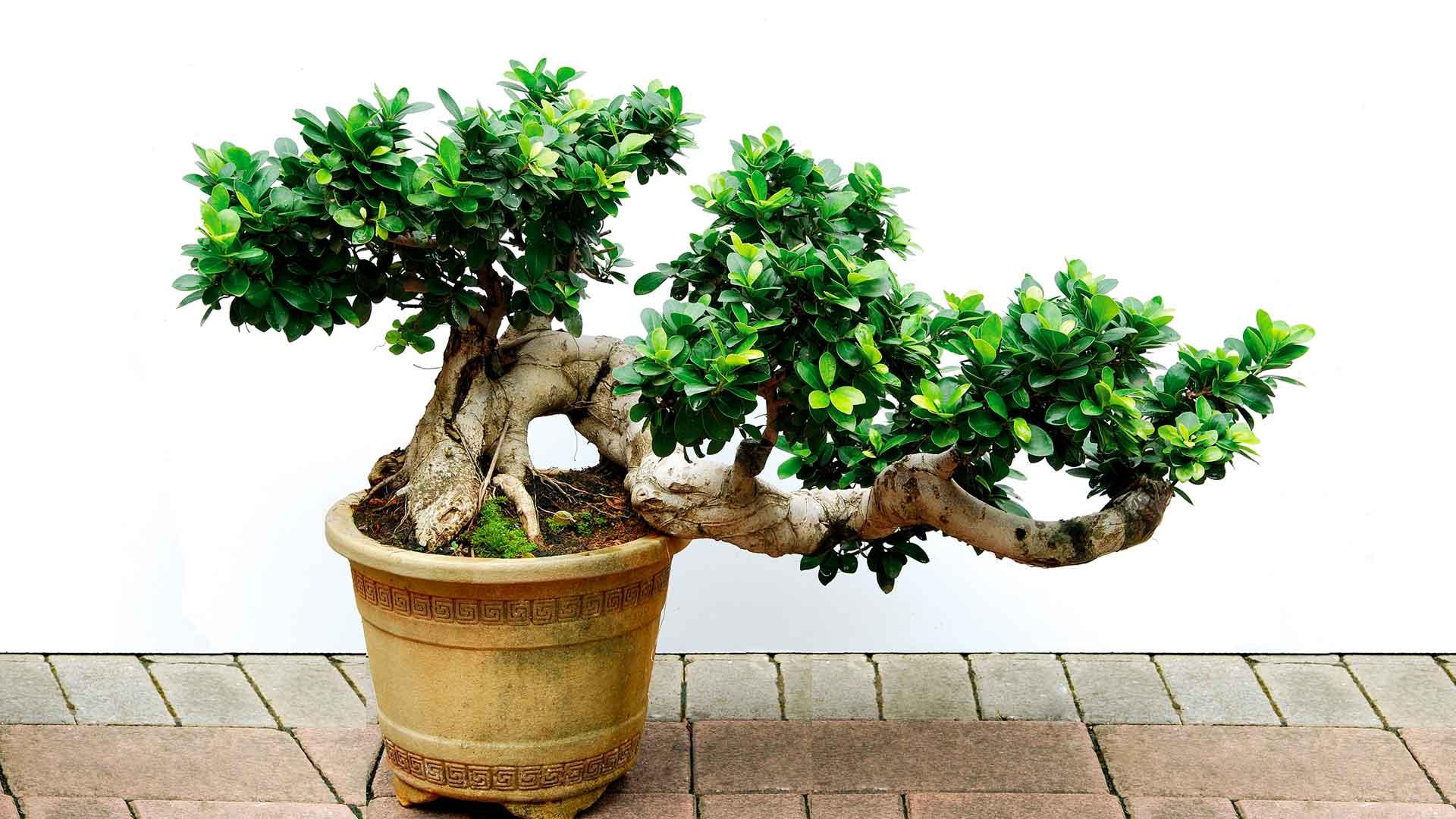 bonsai wallpaper for android wallpapersafari