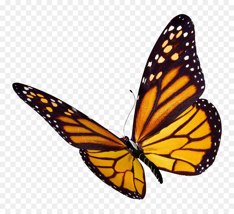 Monarch butterfly Desktop Wallpaper Clip art   flock png download 900x820