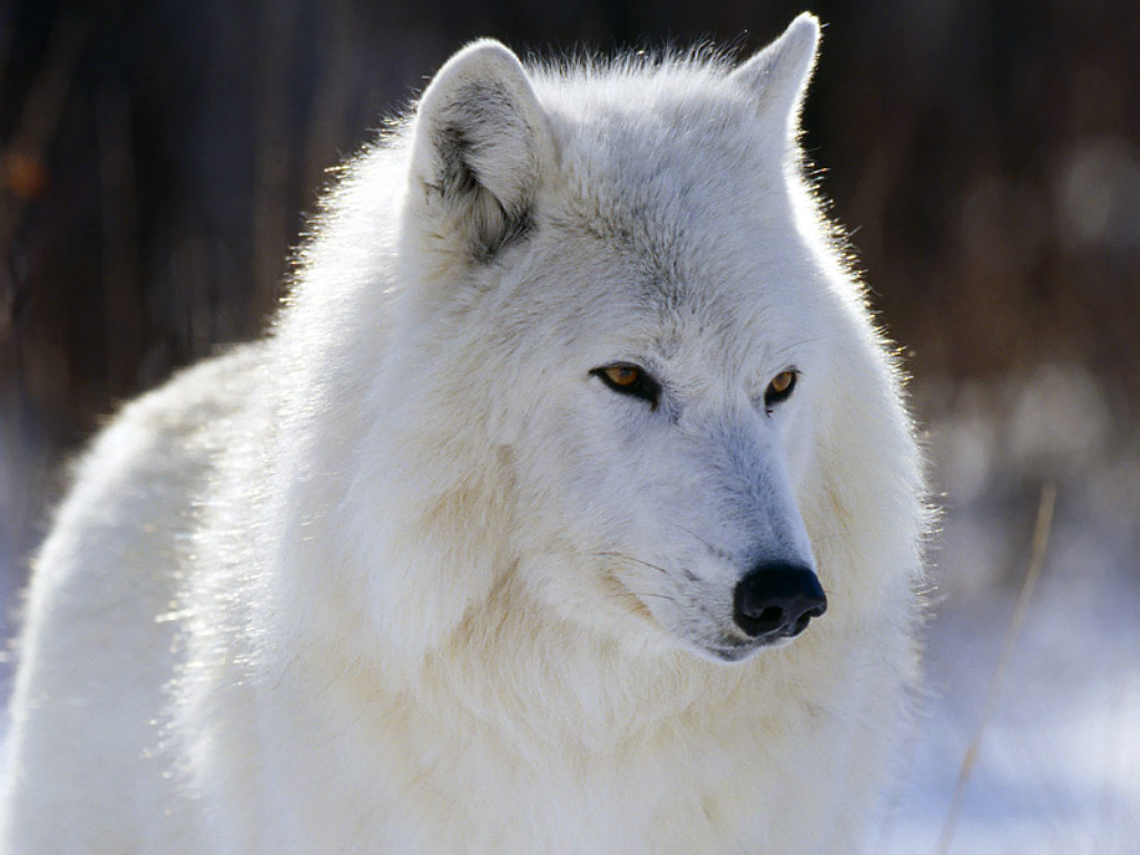 Free Download Arctic Wolf National Geographic Wallpaper 20923051