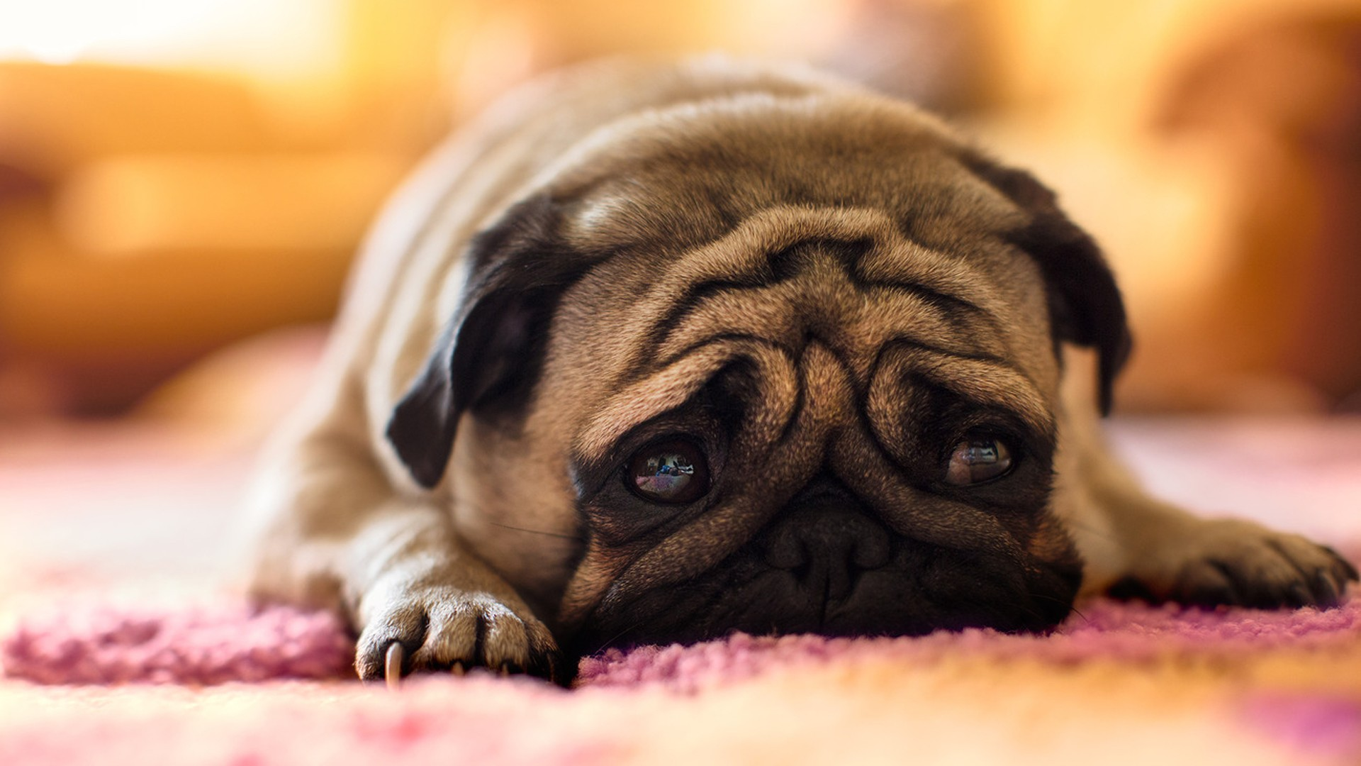 Pug Animal HD Desktop Wallpaper HD Desktop Wallpaper 1920x1080