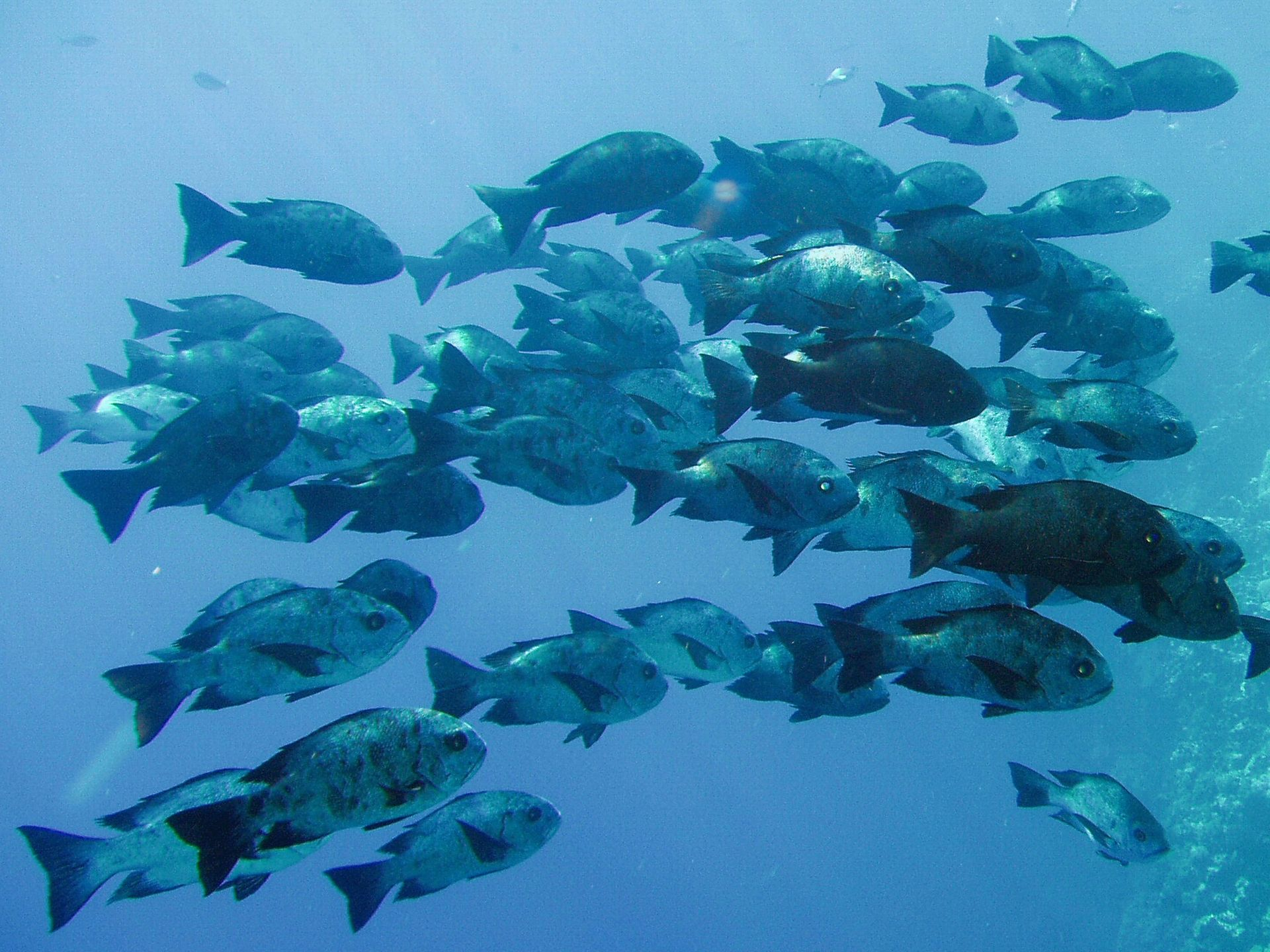 Animals Blue sea perch school fish picture nr 41893 1920x1440