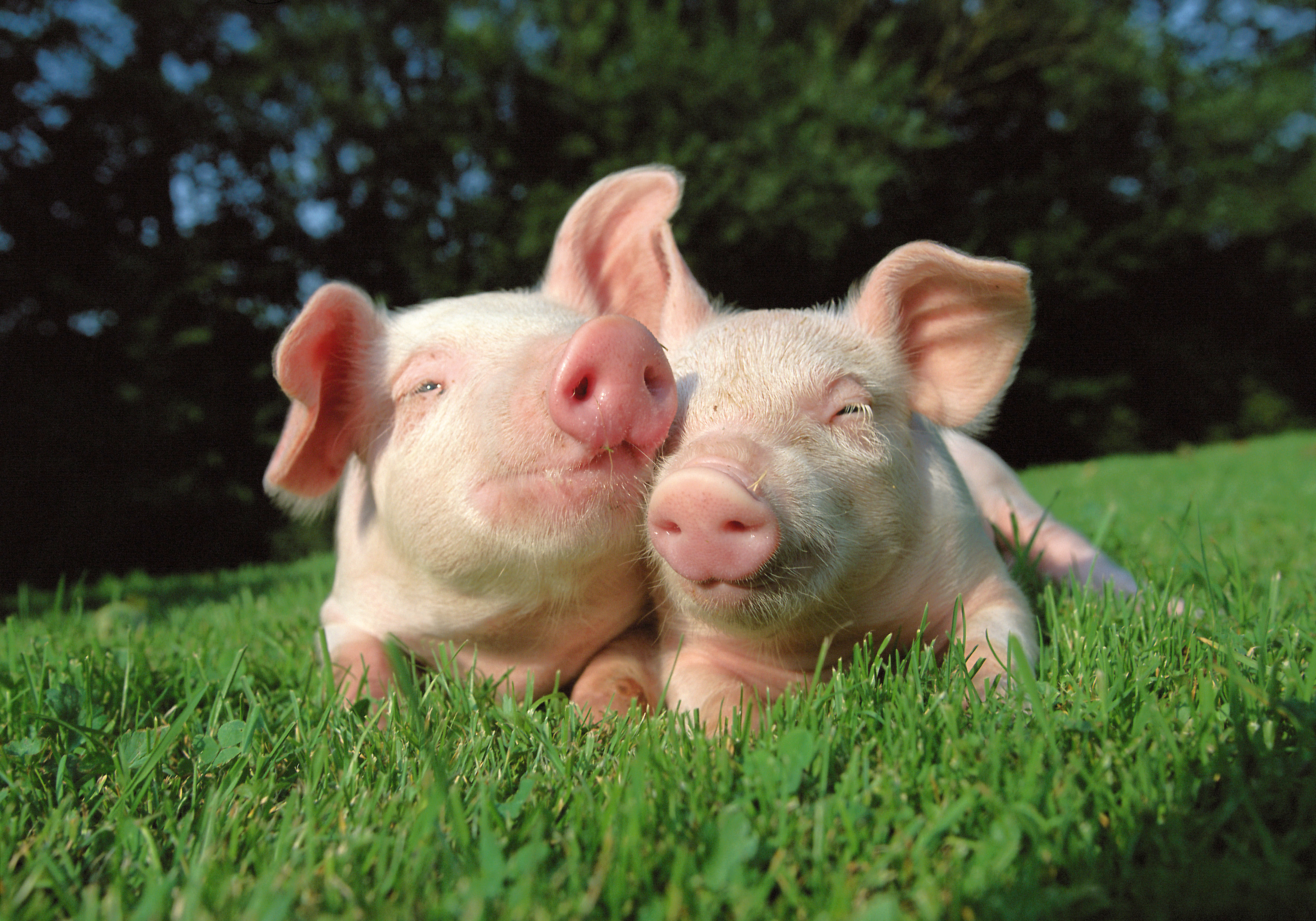 Cute pigs wallpapers and images   wallpapers pictures photos 5315x3720