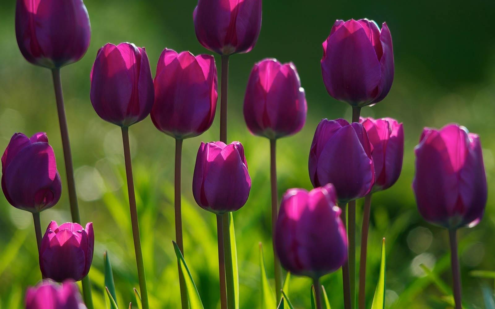 Flowers Desktop Wallpapers Purple Tulips Flowers Desktop Backgrounds 1600x1000