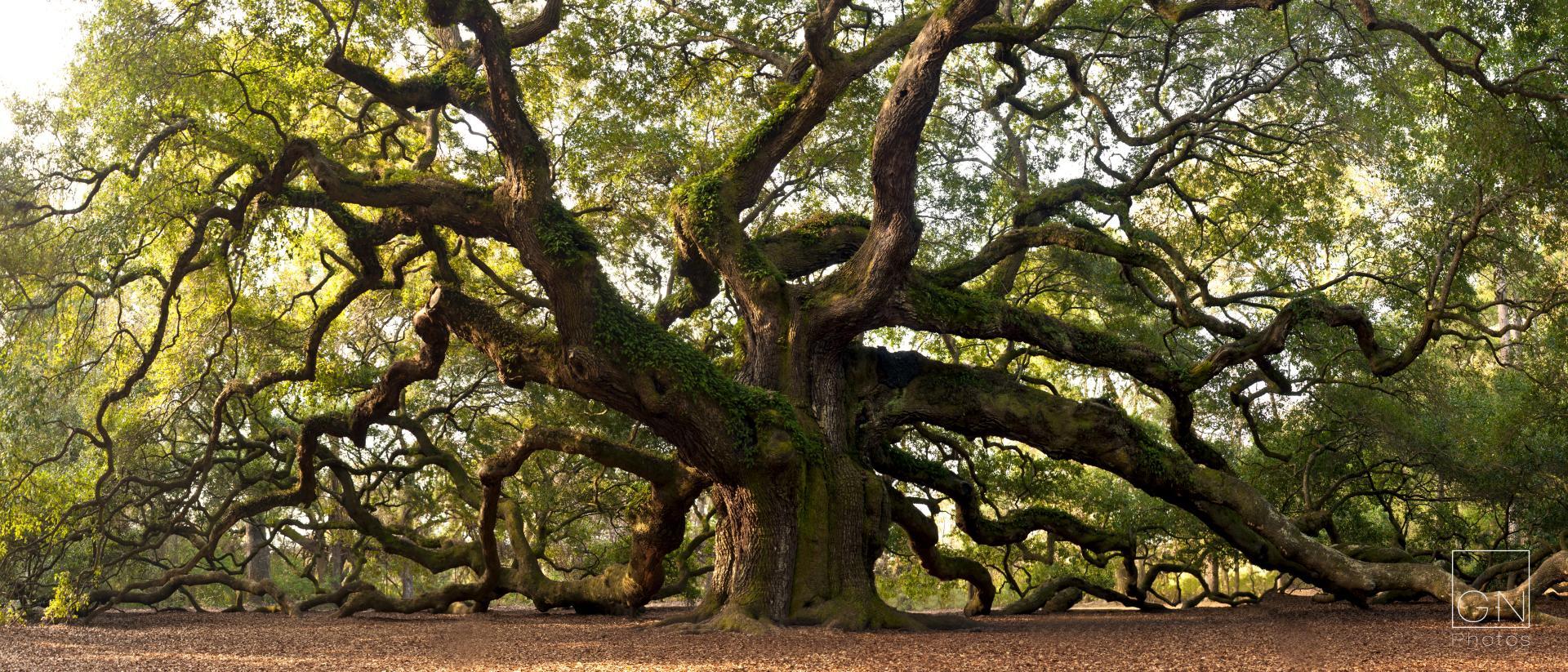 Angel Oak Tree Wallpapers HD Download 1920x823