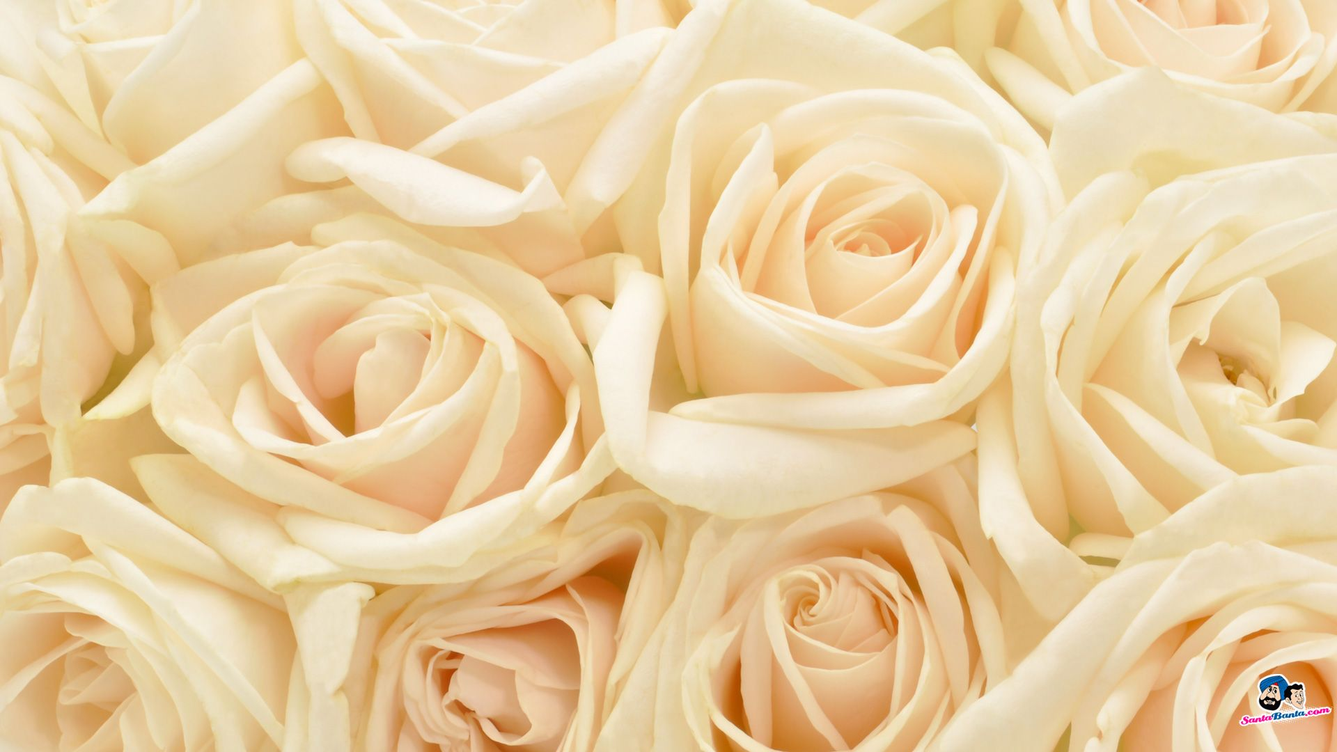 [72+] White Roses Background On WallpaperSafari