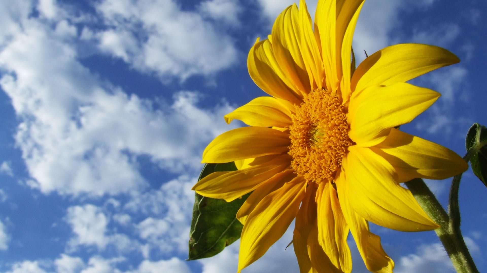 3d Sunflower Wallpapers For Desktop