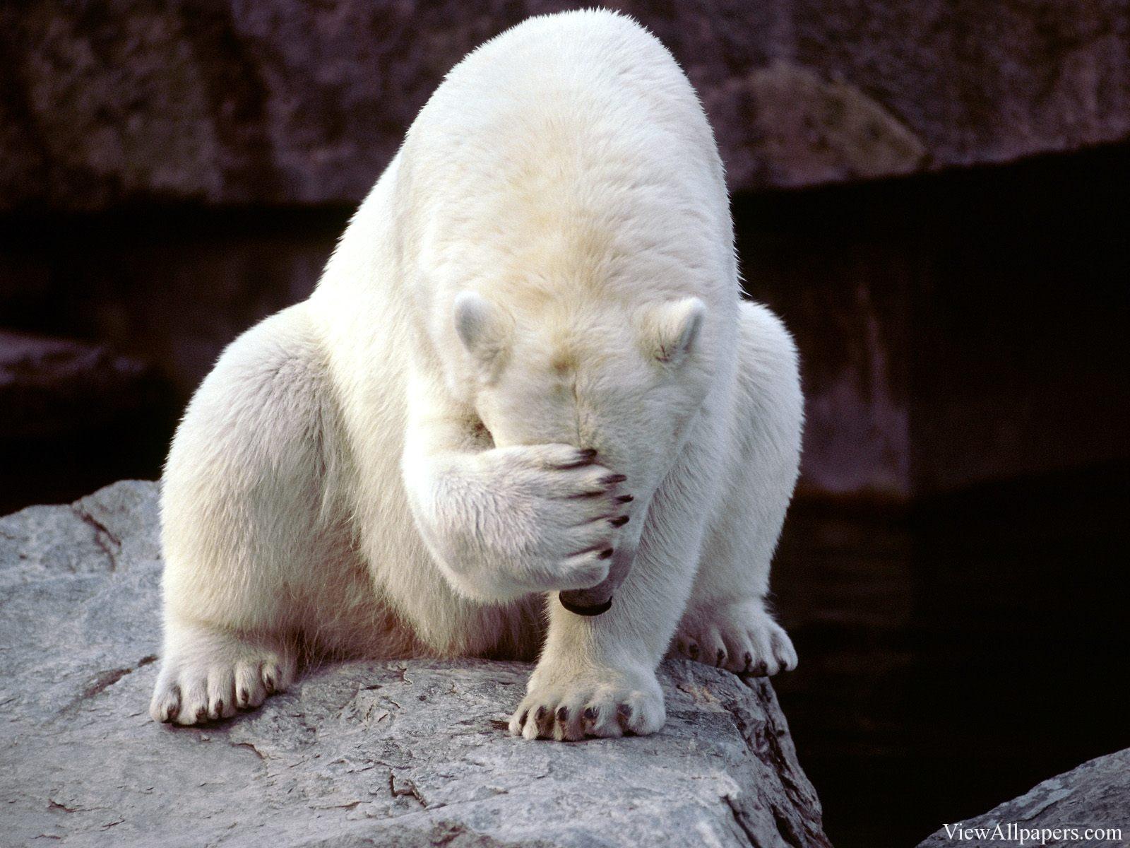 Frustrated Polar Bear Animal Planet   Wallpaper 1600x1200
