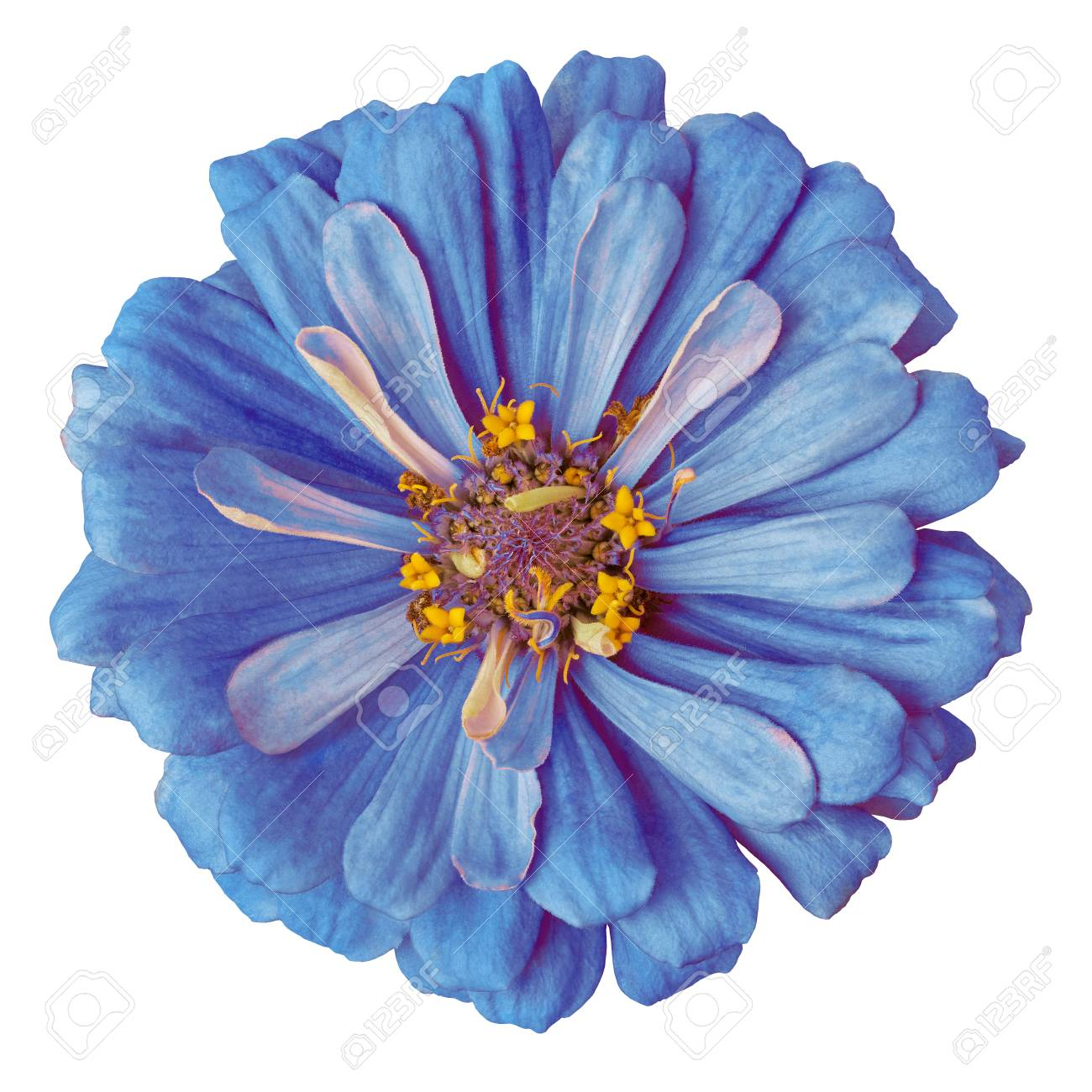 Flower Blue Yellow Zinnia Isolated On A White Background Close up 1300x1300