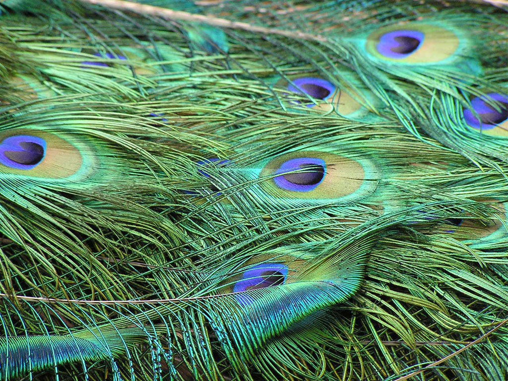 wallpapers Peacock Feathers Wallpapers 1024x768