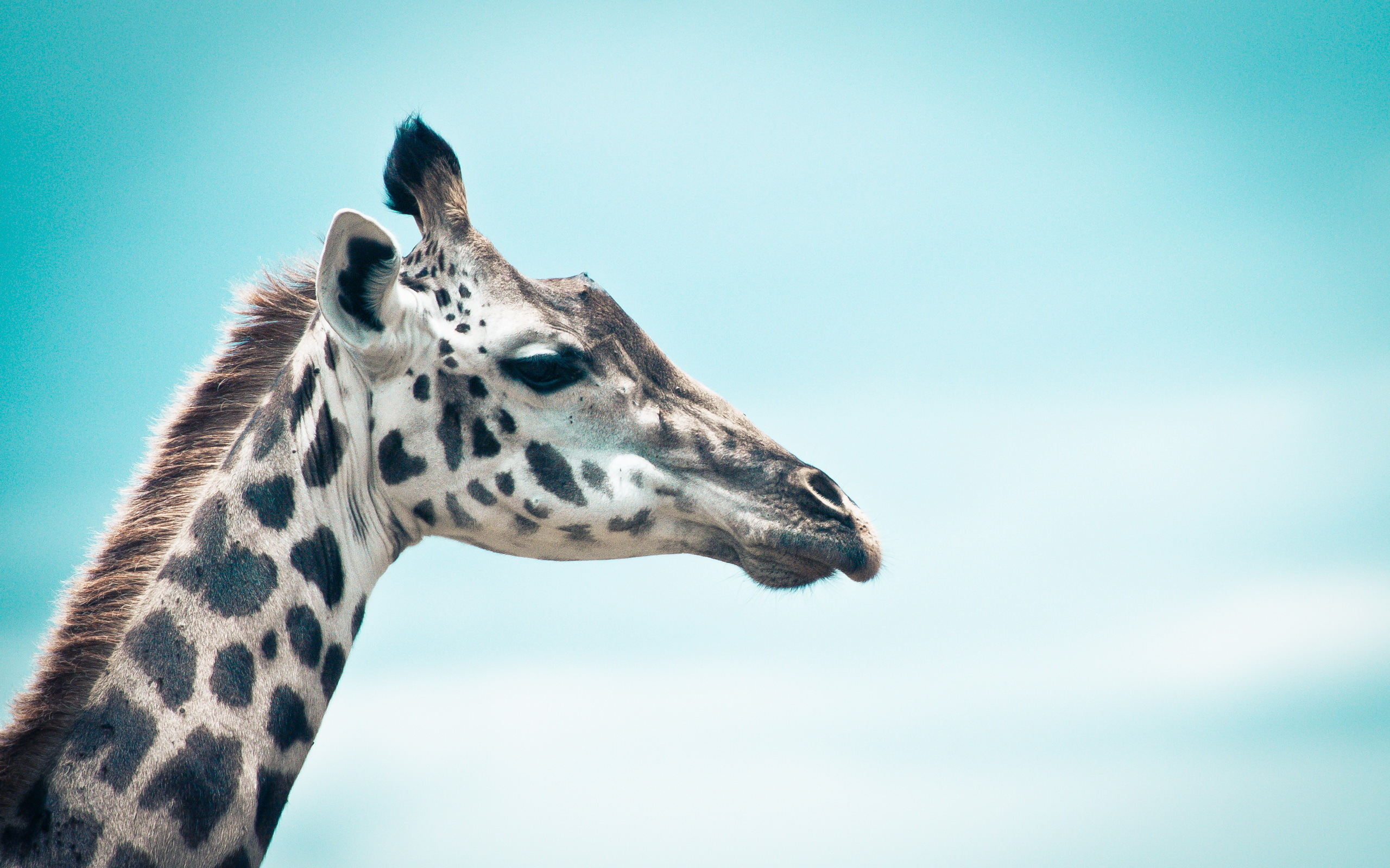 giraffe hd wallpapers hd wallpapers cool images tablet background 2560x1600