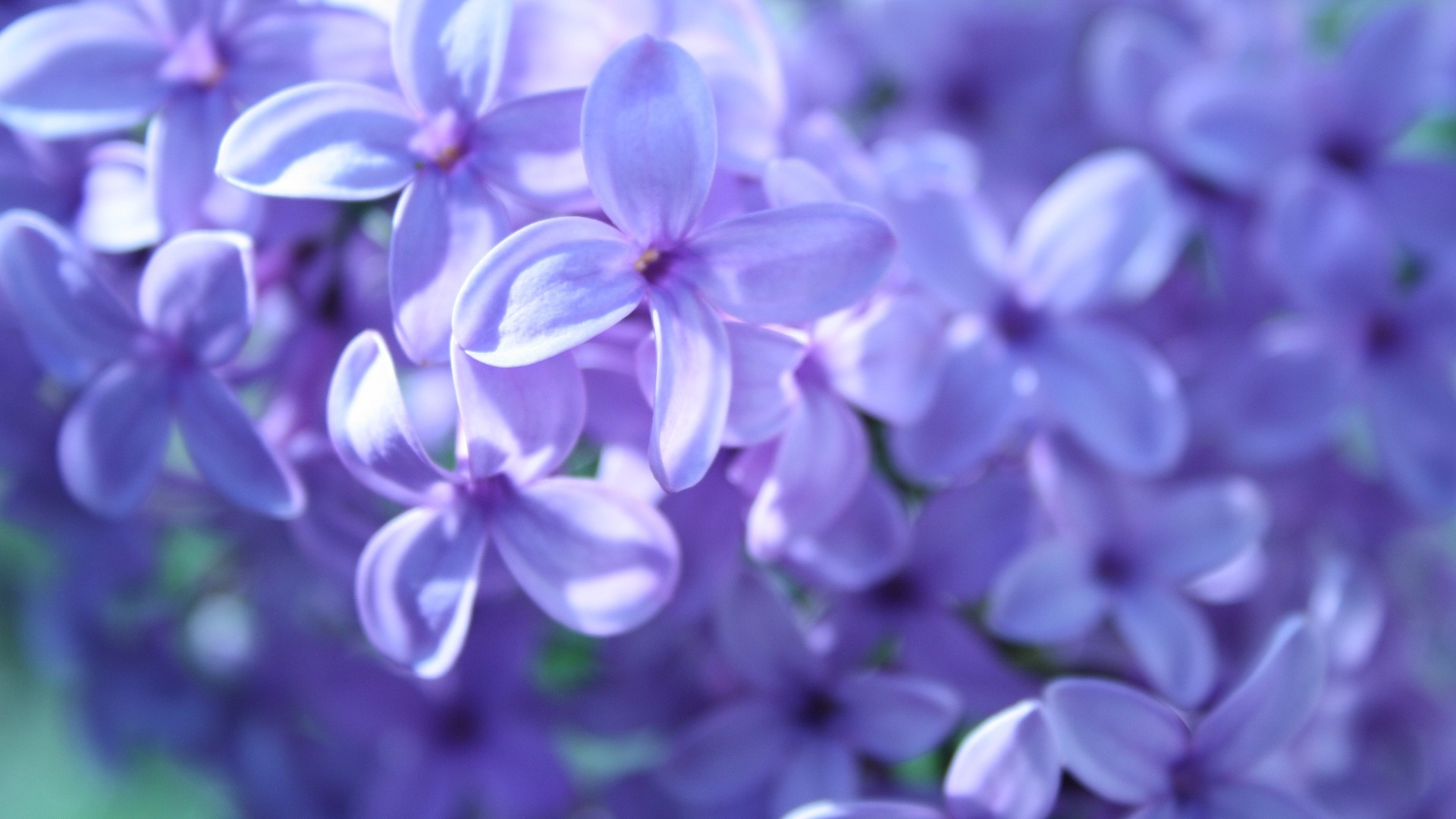 Purple Flowers Wallpaper 1920x1080