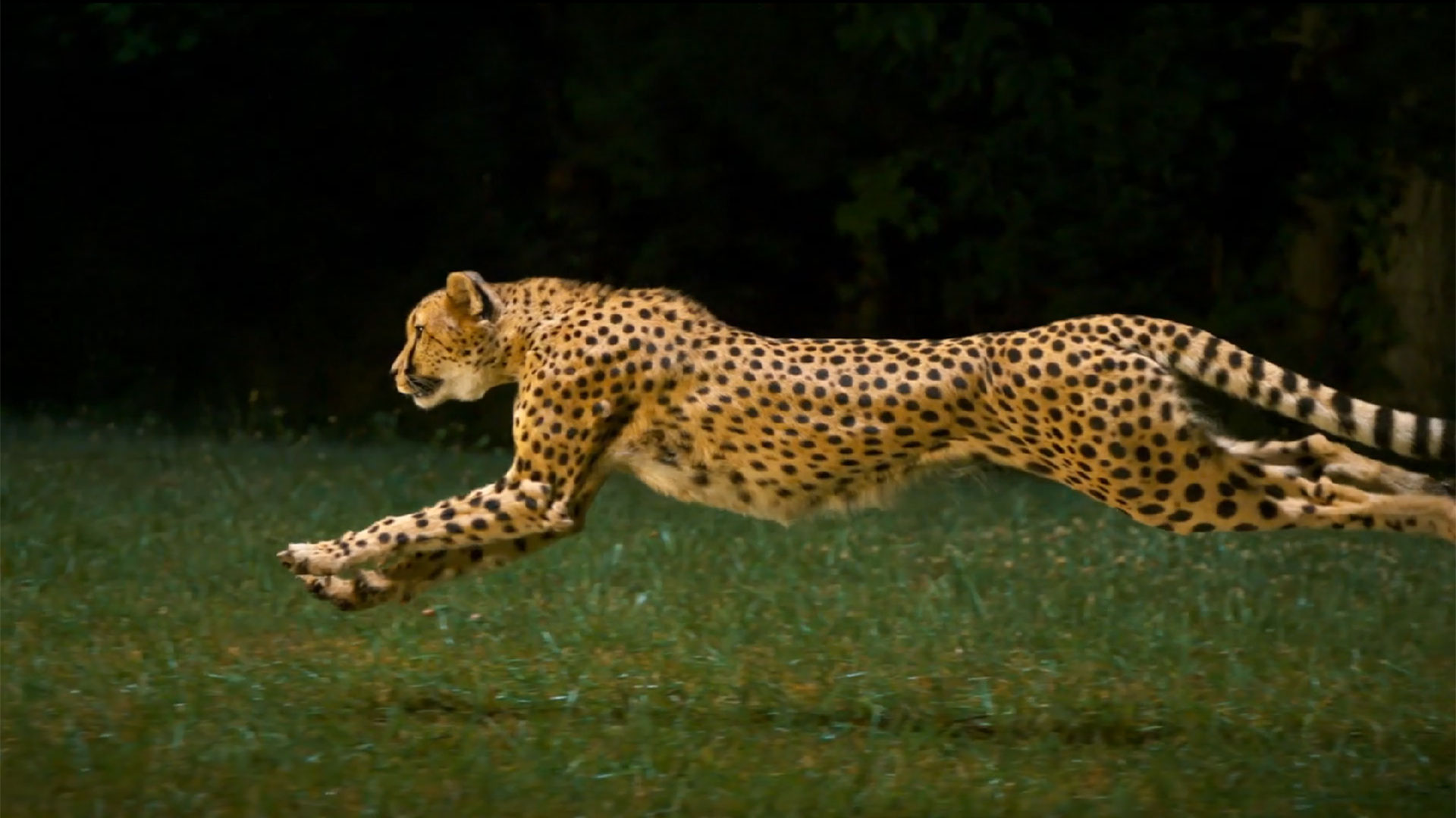 Cheetah Running Wallpaper Wallpapersafari